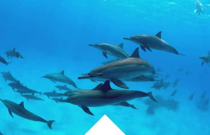 Mar Rojo, Sur, Delfines, RDS